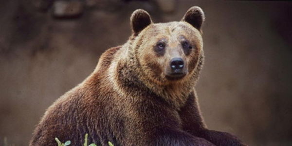 Italy's distinct bear (Marsican brown bear) faces down extinction