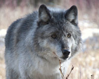 Take a Stand Against Anti-Wolf Legislation