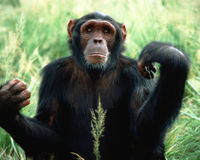 Research Chimps Deserve to Retire!