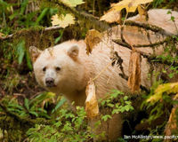 Stop Oil Tankers in Canada's Great Bear Rainforest!