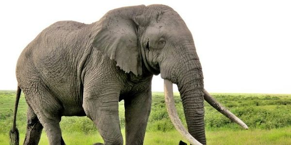 eBay: Stop contributing to the extinction of elephants & other endangered species