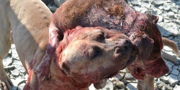 STOP DOGFIGHTING AT KOSOVA