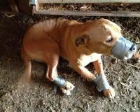 STOP Duct Taping dogs MUZZLES Shut! Automatic Felony Charges of animal cruelty!!!