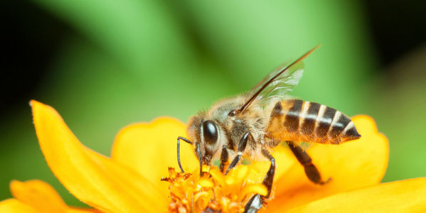 Don't Revoke Ban on Bee-Killing Pesticide!