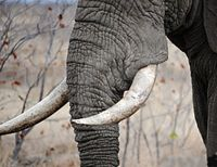 Ban Ivory Imports to the United States