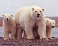 Urge Congress to Permanently Protect the Arctic Refuge!