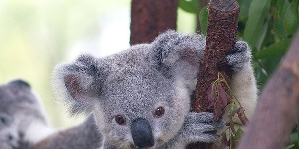 Stop Timber Plantations From Killing Koalas