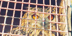 Stop Owl Sacrifices in India