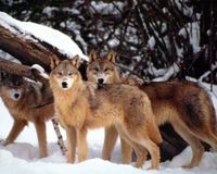 HELP OUR WOLVES