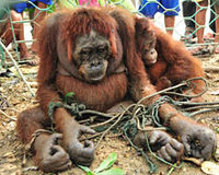 Prosecute Villagers For The Abuse, Torture and Cruelty of a Mother Orangutan and her Baby