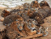 Demand Permit for ALL Tiger Breeding in U.S.
