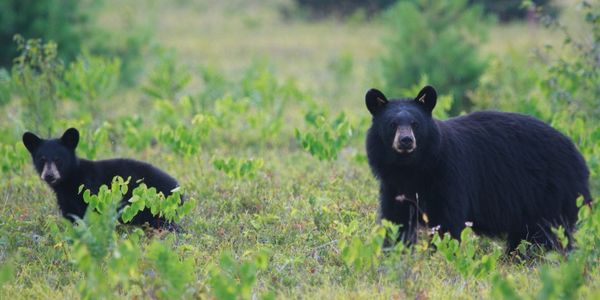 Stop Florida's Black Bear Hunt!