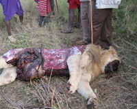 SOS FOR LIONS! STOP (IN)BREEDING, STOP (CANNED) HUNTING, STOP ABUSE!