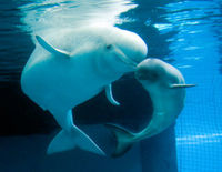 Protect Endangered Beluga Whales from Pebble Mine