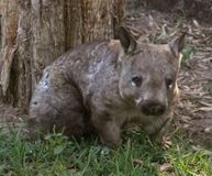 Save the Hairy Nosed Wombats!!