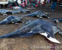 Establish Trade Bans of Manta Rays