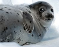 Let's Make the Seal Hunt History!
