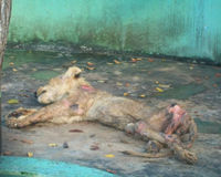 The agony and cruel death of the lion casimiro. la agonia y cruel muerte de el leon casimiro.