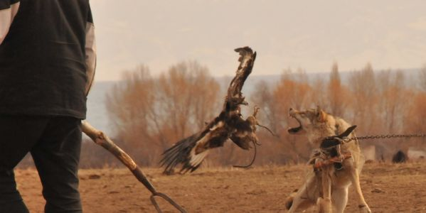 WOLF BAITING - SHAME OF KYRGYZSTAN - please SIGN AND SHARE