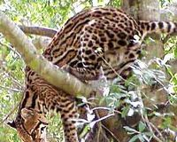 SAVE OCELOT THE SMALL ENDANGERED CAT
