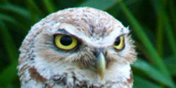 Give Burrowing Owls Habitat They Can Thrive In