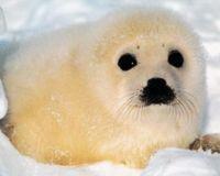 Nous devons cesser de tuer les bébés phoques ! 139841-1217840621-main