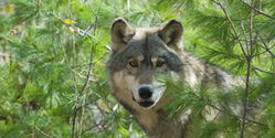 Stop the killing of Michigan wolves