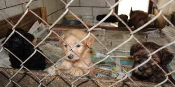 Charge Woman Severely Who Was Found With 90 Dogs & 20 Cats in Deplorable Conditions