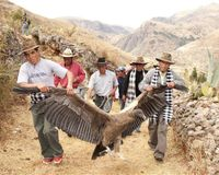 Stop strapping a condor to the back of a bull in Peru