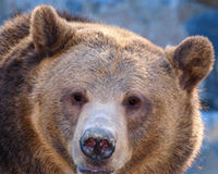 Stand Up for Grizzly Bears