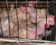 Put an End to Intensive Hen Confinement