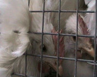 Stop Criminalizing People Who Expose Animal Abuses