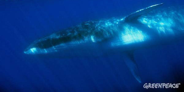 Stop the Trade of Endangered Whales