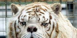 Stop Breeding White Tigers