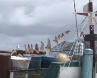 Cargaison d'ailerons de requins %uFFFD Cayenne (prise de vue : Francois Catzeflis, avril 2003)
