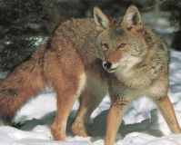 Tell North Carolina to Ban Coyote Hunting