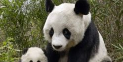 Tell China to Save Giant Pandas in Unprotected Forests