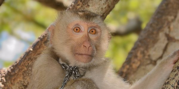 Monkey with chain on neck