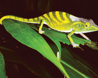 Save the endangered Tarzans chameleon