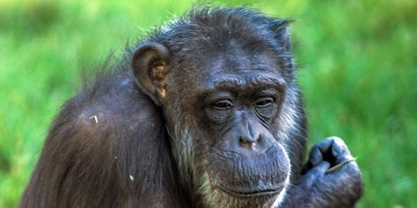 Demand that Unilever, owners of PG Tips, donate towards rehabilitation/care of TV chimpanzee