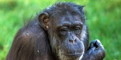 Urge Unilever to donate towards rehabilitation/care of TV chimpanzee