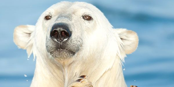 Free Arturo, Argentina's Only Polar Bear, From Living Hell!