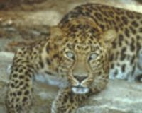 Save the Amur Leopard