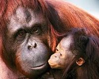 Save the Sumatran Orangutan
