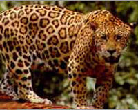 Save Jaguars and Other Borderlands Wildlife