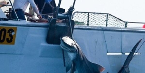 Tell Australia Stop Shark Culling that is Endangering the Great White Shark Existence!