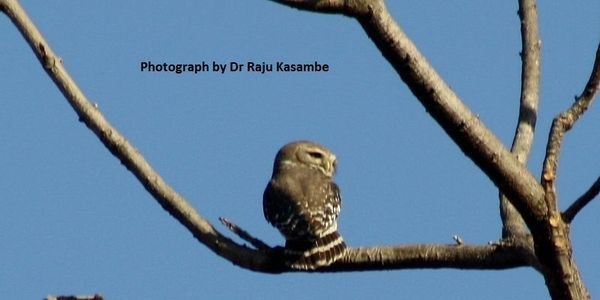 India - Save the Forest Owlet