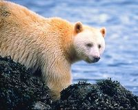 Save the Spirit Bear - Reroute the Northern Gateway Pipeline
