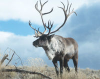 Protect Woodland Caribou from XL Pipeline