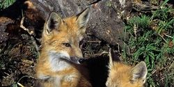 Tell Italy- Stop Exterminating Foxes
